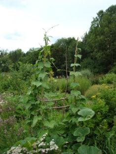 Bohnenranken aus Trieben der Weide vom Beet