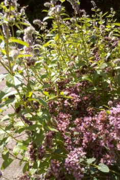 Im Kräuterbeet ist heftig viel los – überall Bienen, Hummeln, Fliegen und Brummer….