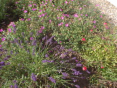 Lavendel und Storchenschnabel stehen in voller Blüte
