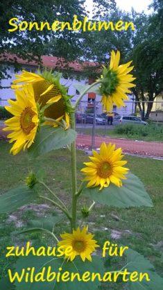 Eine der 12 Sonnenblumen mit soviel Köpfen