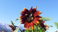 Die roten Sonnenblumen lieben die Bienen anscheinend besonders … und übrigens: wer hat sch ...