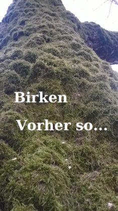 Unsere alten Freunde die Birken!