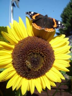 Biene und Schmetterling auf einer Sonnenblume