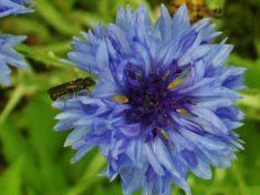 Insekt auf blauer Blume