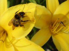 Die Biene sitzt auf der Taglilie