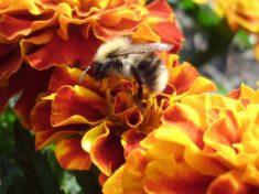 Das Insekt sitzt auf der Tagetes