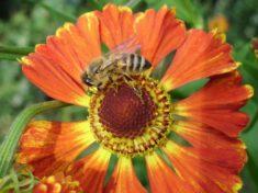 Die Biene sitzt auf der Sonnenbraut