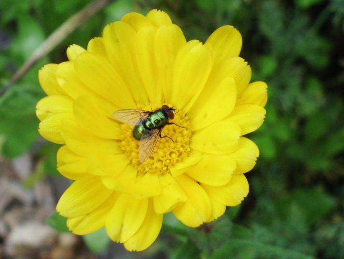 Eine Fliege auf der Ringelblume