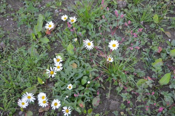Auf der Bienenweide blühen noch ein paar verspätete Margariten