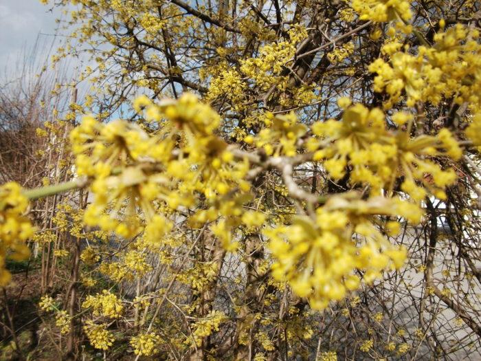 Kornelkirschenblüten
