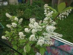 Der Traubenkirschbaum