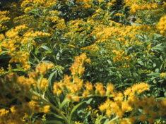 Goldrute für die Niere und die Biene