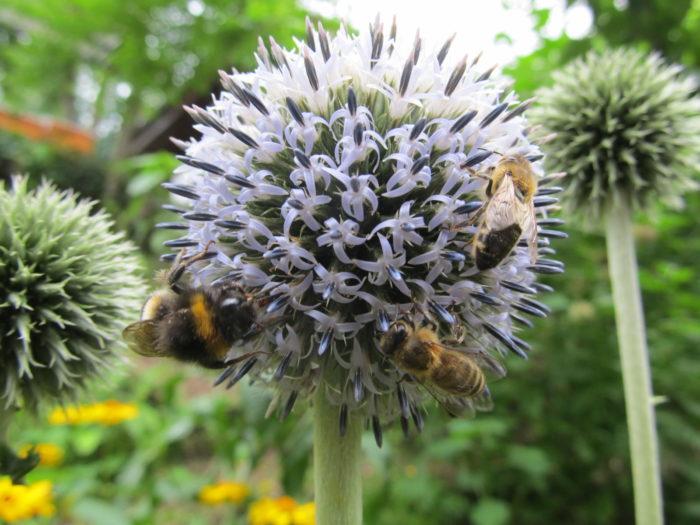 Fürhlingsbemühungen blühen auf (1/4): Hummeln und Honigbienen an Kugeldistel