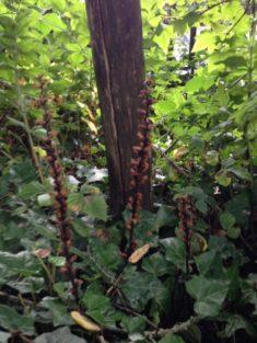 Hotzenwald Naturgarten: Gestern bei mir im Efeu entdeckt !