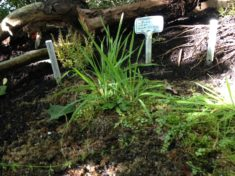 Hotzenwald Naturgarten: Ex-situ Kultur vom zarten Gauchheil