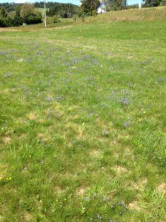 Was blüht denn da so blau (Hotzenwald im August) ?
