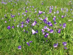 Wiesenglockenblumen im Massenbestand (Hotzenwald im August)