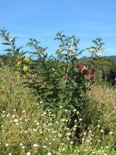 TIPP September – Naturgarten: Spätblühender Blasenstrauch