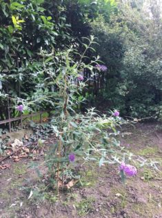 Unser erstgepflanzter Buddleja im September (2017)