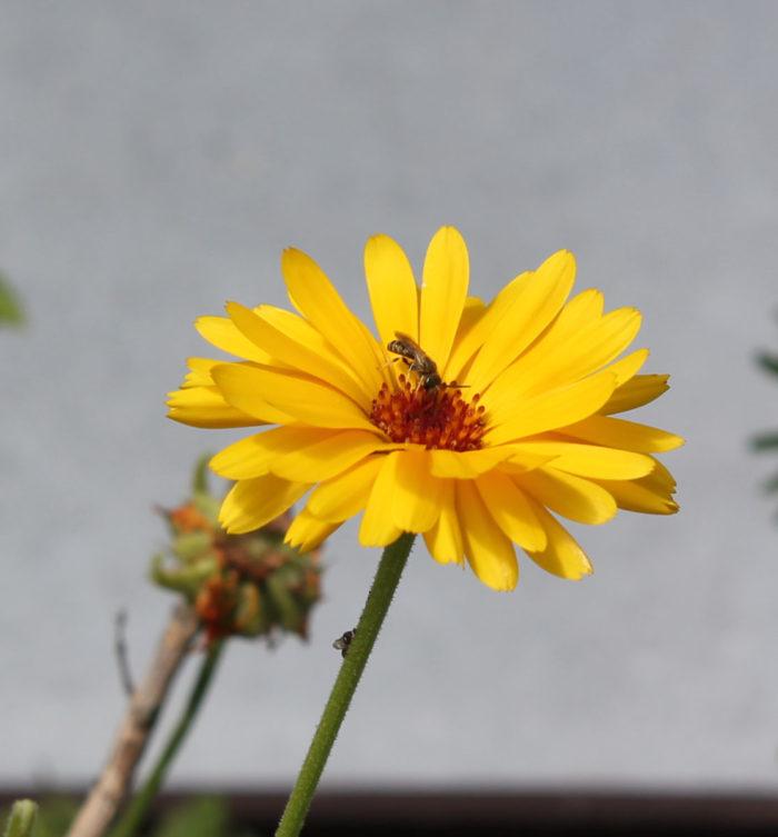 August: Biene und Fliege an Ringelblume
