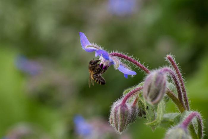 Biene im Borretsch