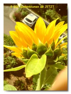5000 Sonnenblumen NOW