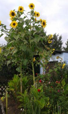 Erlangen summt ( hoffentlich auch noch im Erlanger Süden ) Wir pflanzen 5000 Sonnenblumenbäume a ...