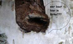Wer baut in weichem Birkenholz??
