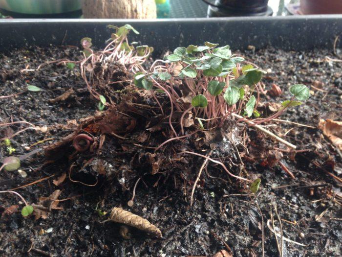 Januar: Herbstalpenveilchen vermehren
